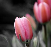 Tulips  by rawrox81