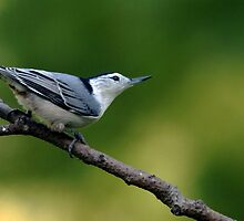 White Breasted Nuthatch by Debbie Oppermann