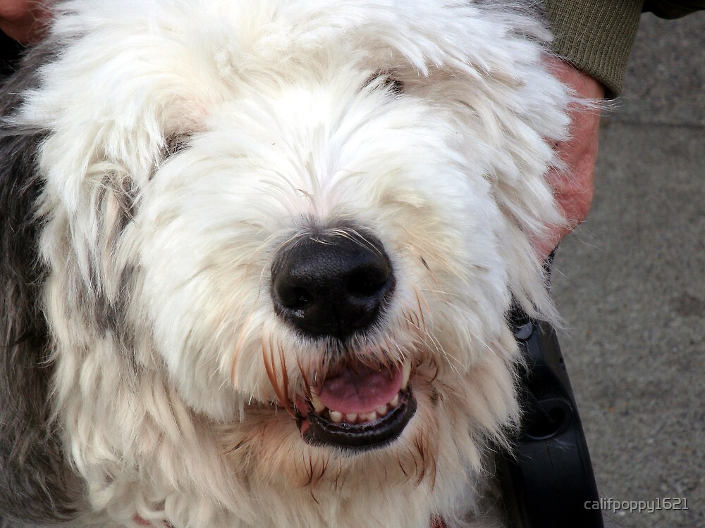 english sheepdog in Berkeley,ca by califpoppy1621