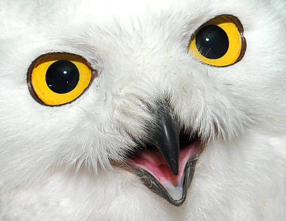Snow Owl - High Definition by Kyle Whitehouse