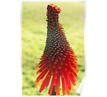 Red Hot Poker Flower, On Display Poster