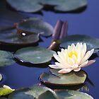 Mangkala Ubol Water Lily by Robert Armendariz