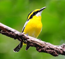 Yellow- Breasted  Boatbill taken Iron Range. by Alwyn Simple