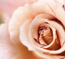 Vintage Rose by Josie Eldred