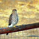 Desert Prarie Falcon  by SB  Sullivan