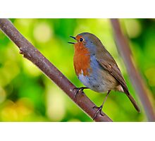 Robin in full song Photographic Print