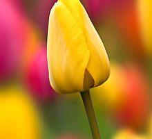 Tulip Carousel by Sarah-fiona Helme