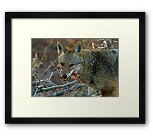 Female Coyote Close Up Framed Print