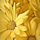 Yellow Daisies by onyonet photo studios