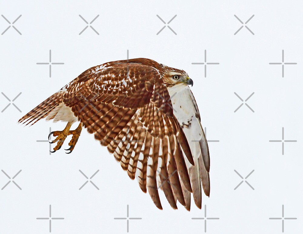 Red-tailed Hawk - Liftoff by Jim Cumming