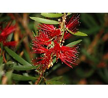 Red Bottlebrush flower Photographic Print