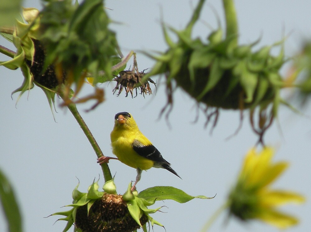 Goldfinch gets the sunflower seed. by TrendleEllwood