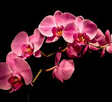 Light Painted Pink Orchids by onyonet photo studios