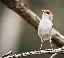 Fairy Wren, Bournda National Park by Cathryn O'Donnell