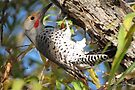 Red-shafted Flicker (Western Northern Flicker) by Kimberly Chadwick