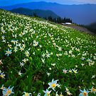 Avalanche Lily Fields Forever by Inge Johnsson