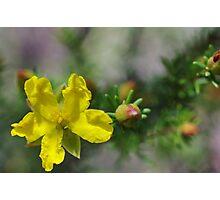 Hibbertia riparia Photographic Print