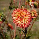 Dahlia by PhotosByHealy