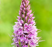Common Spotted Orchid by Sarah-fiona Helme