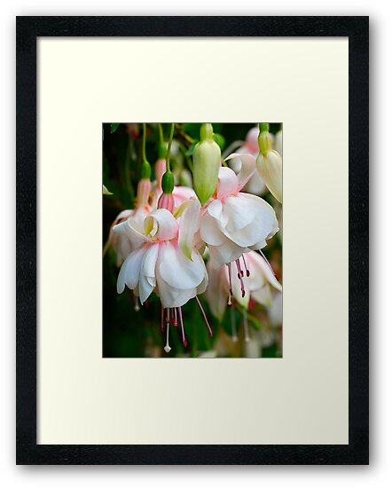 Fuchsia Ladies by Penny Smith