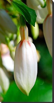 Pretty Little Bud by Penny Smith