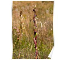 Orthoceras strictum Horned Orchid Poster