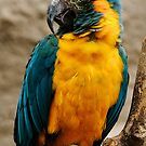 MaCaw by Epicurian