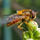 Hoverfly  by AnnDixon