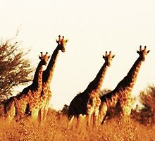 Giraffes in the Okavango Delta by Jamie Evans