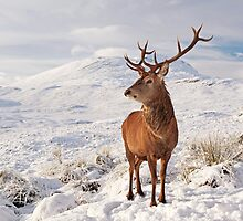 Deer Stag in the snow by Grant Glendinning