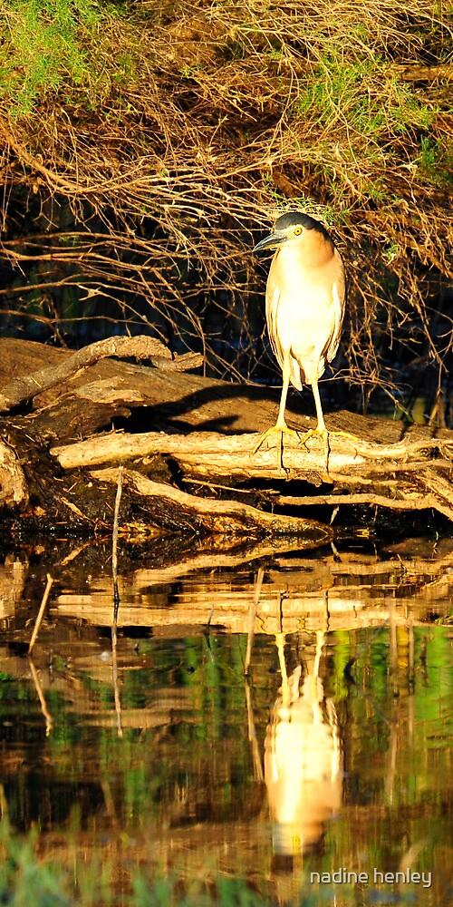 a breeding rufous night heron by nadine henley