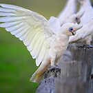 Little corella by nadine henley