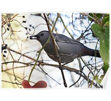 Grey Catbird Dining On Berries In The Thicket Poster