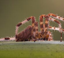 Araneidae by Glynn May