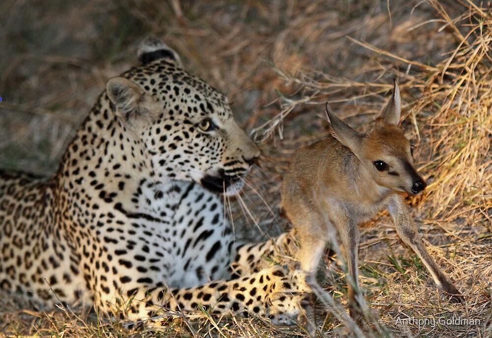 Leopard/duiker interaction 5 by jozi1
