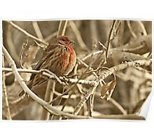 House Finch, Photo by Donna Ridgway, Vaughn, Montana Poster