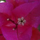 Pink Bougainvillea by PtoVallartaMex