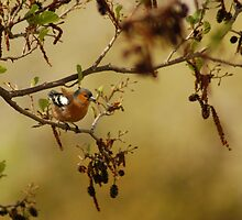 Chaffinch by Kenneth Caleno