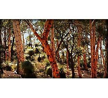 Golden Trunks  Photographic Print