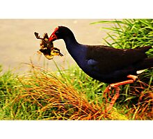 Duckling for Dinner? Photographic Print