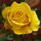 Yellow Rose by Debbie Cato