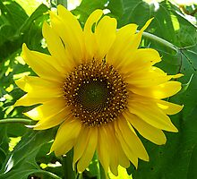 Baby Sunflower by Crystal Zacharias
