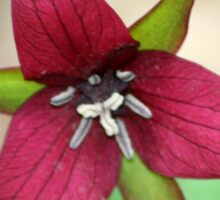 REDREAMING RED TRILLIUM Sticker