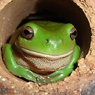 Green Tree-Frog in Hole by Austin Stevens