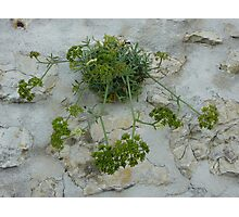 Wall Weed Photographic Print