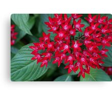 Red Egyptian Star Flowers Canvas Print