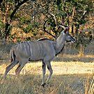 Kruger Kudu by Graeme  Hyde