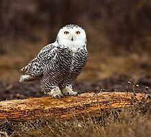Snowy Owl by Jim Stiles