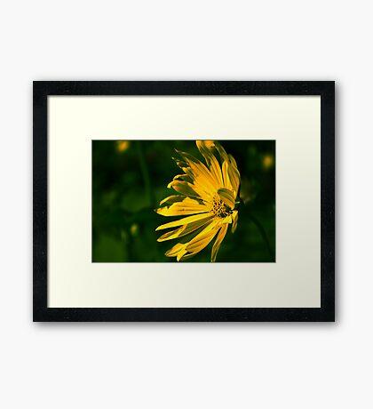 Yellow Flower (Halifax Gardens) Framed Print