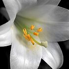 Lily & Yellow Stamen (Mendel) by jphphotography